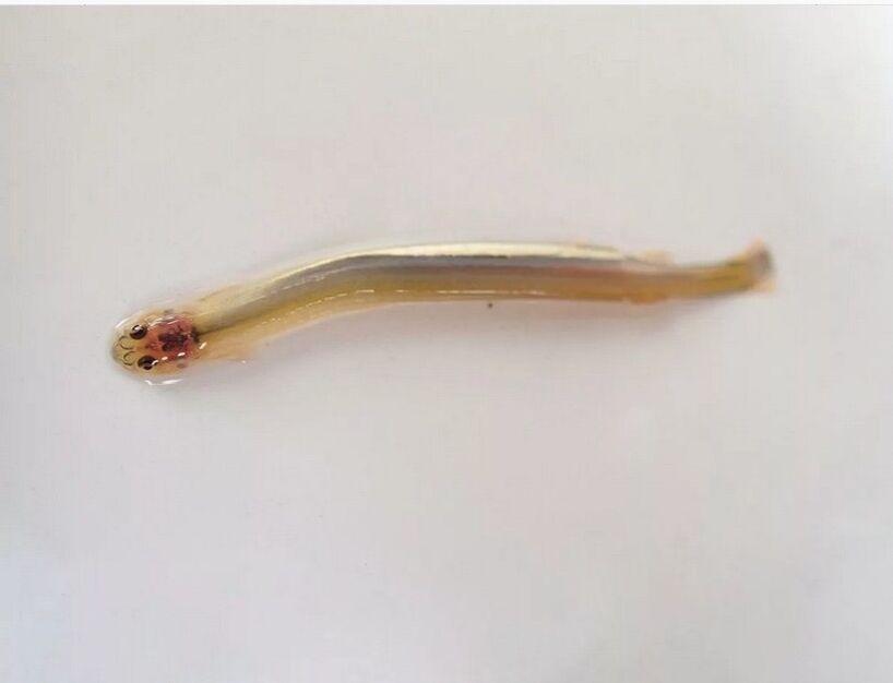 penyakit enterobius vermicularis tratament zentel adulti